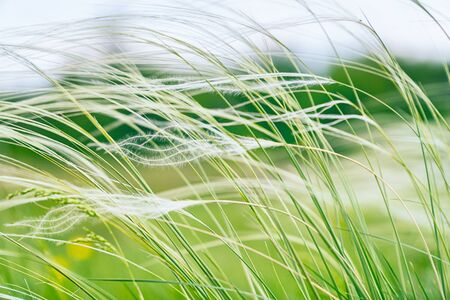 Feather Grass in the meadow inflates the wind. Needle Grass, Nassella tenuissima. Selective focus