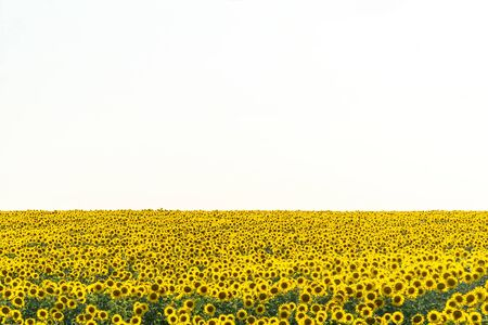 Yellow field of flowers of sunflowers against a light, almost white sky