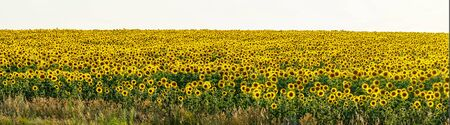 Panorama Yellow field of flowers of sunflowers against a light, almost white sky