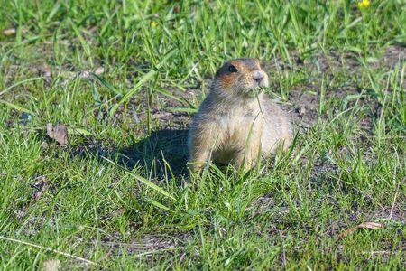 The gopher eats grass after winter hibernation. Soft focus