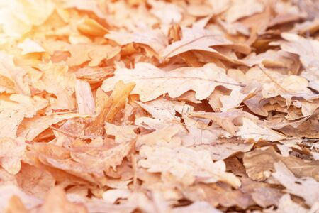 Dry fallen oak leaves in the sunlight on the ground. Selective focus