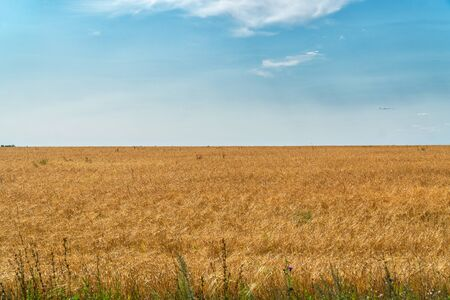 Field with ripe wheat or rye against the cloudy sky