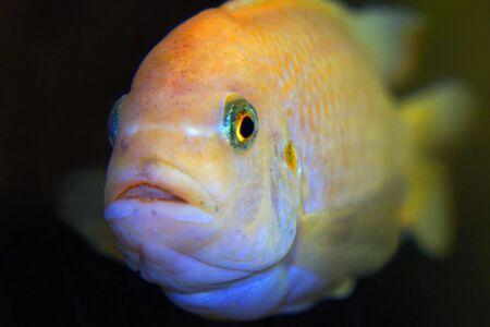 The fish in the aquarium. Portrait of an African aquarium fish of the cichlid family called Pseudotropheus lombardoi. Close up.