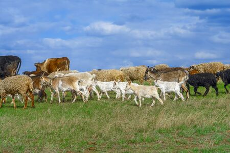 Herd of goats and sheep in the pasture