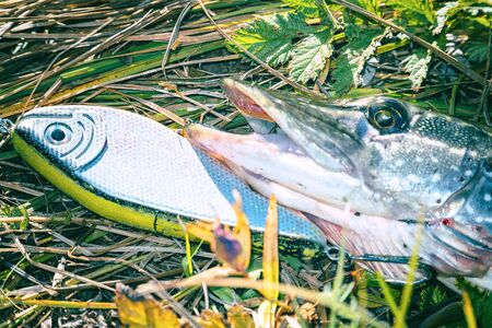 Pike on grass with bait in mouth. Jerkbait Imagens