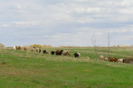 A flock of sheep on a spring pasture against a cloudy sky