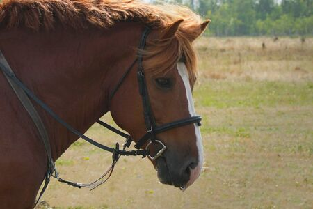The head of a brown horse in a bridle. Portrait of a horse