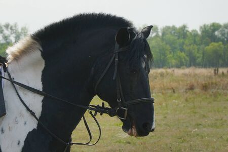 Portrait of a black horse in a bridle and trimmed mane