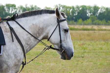 Portrait of a white horse in a bridle and trimmed mane