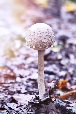 Poisonous inedible mushroom growing in the forest. Toned photo