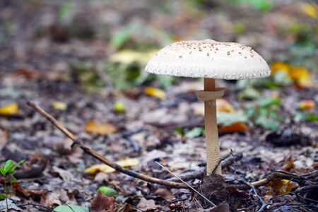 Poisonous inedible mushroom growing in the forest. Stock Photo