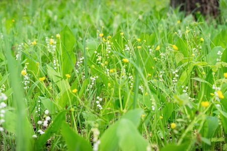 Wild green meadow with Lily of the valley and Buttercup flowers