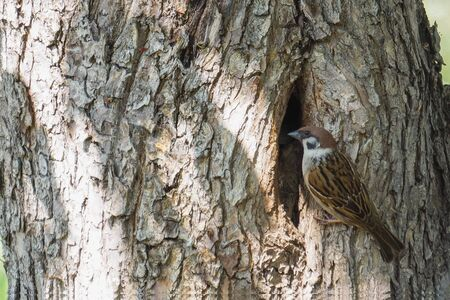 A Sparrow sits at its nest in a hollow tree