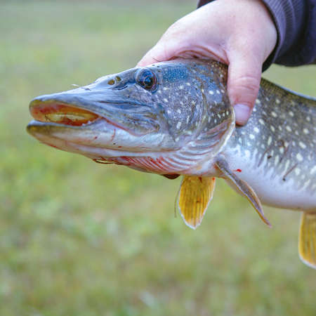 A man holds a river pike in his hands. Selective focus