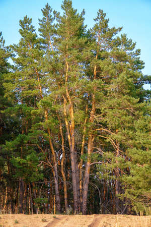 Pines on the sand against the blue sky. Pine forest