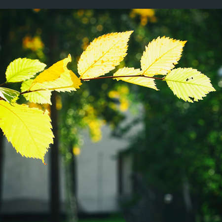 Twig with autumn yellow leaves