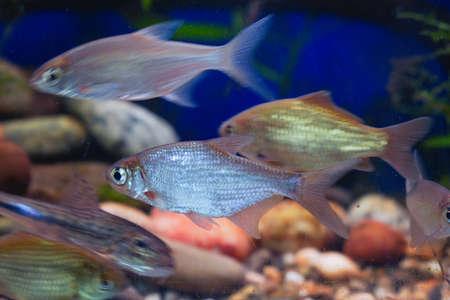 Young bream swim in the aquarium. Freshwater river fish in an aquarium. Selective focus