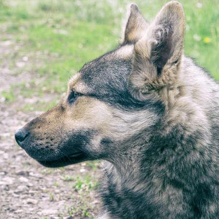 Portrait of a dog like a shepherd
