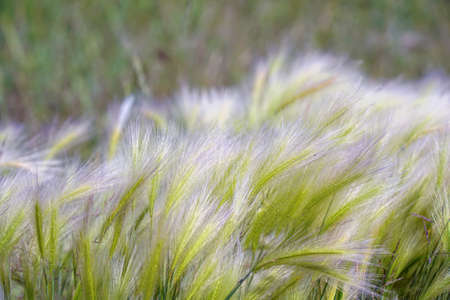 Feather Grass in the meadow inflates the wind. Needle Grass. Selective focus