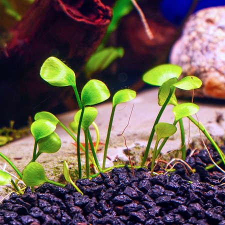 Decorative ground cover plant Marsilea in an aquarium. Selective focus