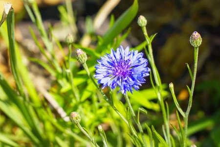 Blue cornflower flower on a natural background 免版税图像