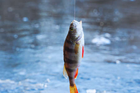 A perch hangs on a hook above an ice hole. Winter ice fishing
