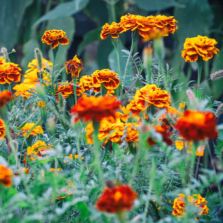 Beautiful marigold flowers on the garden bed