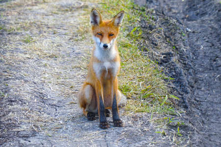 Young steppe fox Korsak sits on ground and looks at the camera