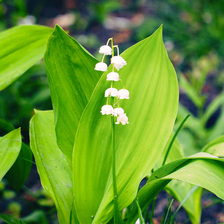 White Lily of the valley flowers on a natural background