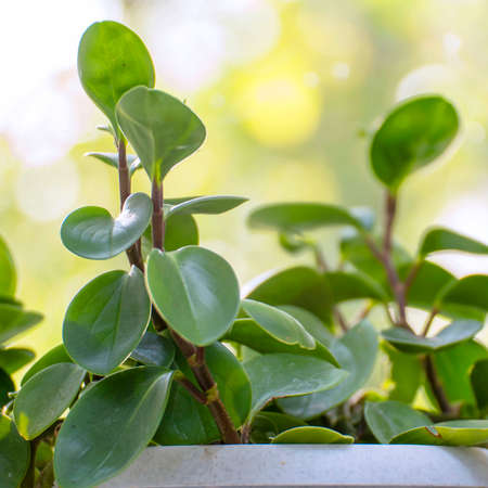 Indoor plant peperomia in a white pot on windowsill by window