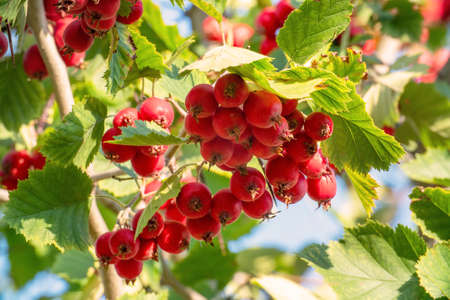 Red ripe hawthorn berries on the branches in the garden in the sunlight Stock fotó