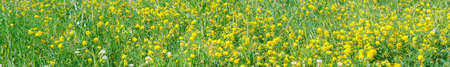 Wild yellow flowers of Meadow pee or Meadow vetchling are swayed by a light breeze. Lathyrus pratensis