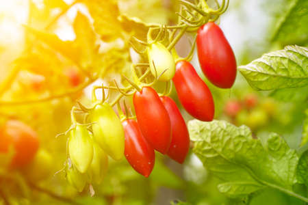 Beautiful ripe and unripe tomatoes in the sunlight on bush in the garden