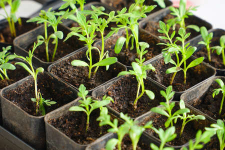 Rotating Young green seedlings in small pots