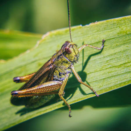 Agricultural pest Grasshopper or locust sitting on grass Фото со стока