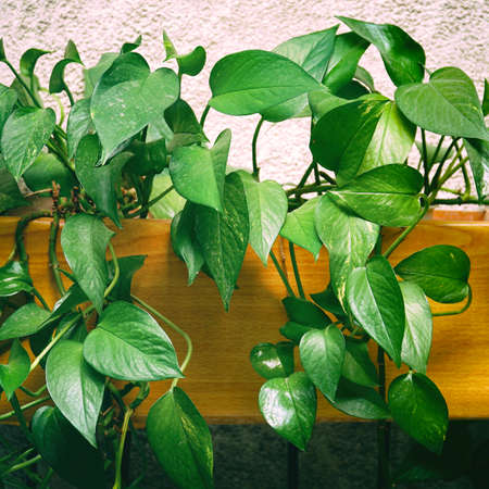 Green ornamental plant Epipremnum or Scindapsus on light background Фото со стока