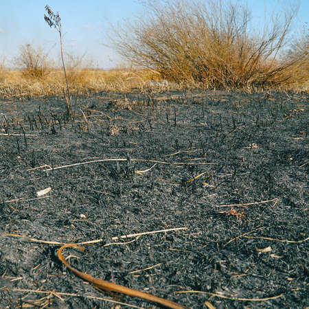 Burnt dry grass on the field close-up