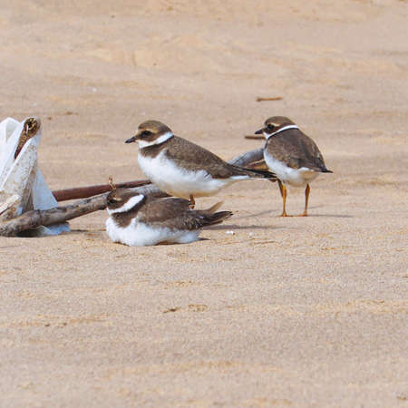 Three small birds called the Big-billed plover on sandy beach. Greater Sand Plover-Charadrius leschenaultii
