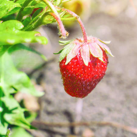 Fresh beautiful and delicious strawberries in garden