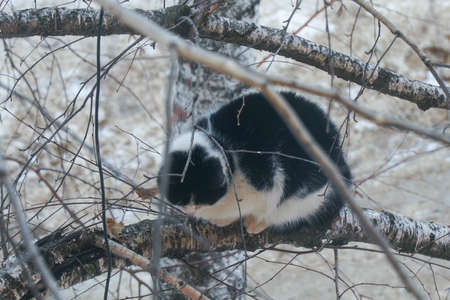 A black and white cat sits on birch branch in the winter Фото со стока