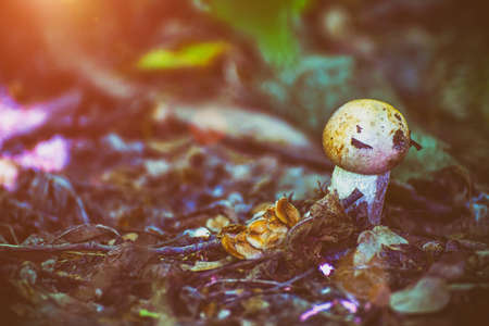 Small mushroom in the sunlight in the forest thicket. Selective focus Фото со стока