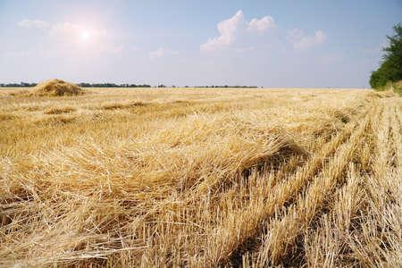 Beautiful dry stubble on the field against sky Фото со стока