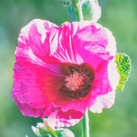Pink flower mallow or malva in the garden on a natural background