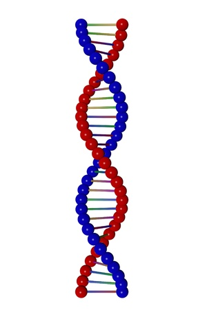 replication: REd and blue 3D model of a DNA strand isolated on white