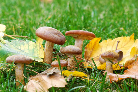 Forest mushrooms in green grass photo