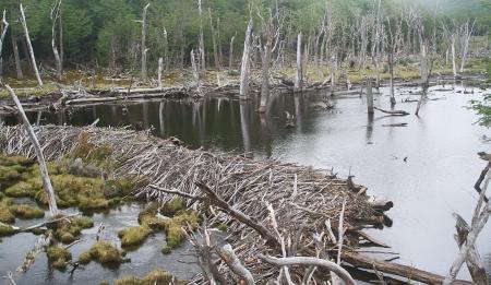castor: Beaver Dam en Ushuaia Argentina Foto de archivo