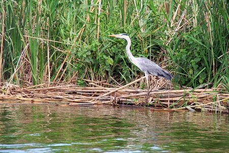 heron in albufera natural reserve, in Valencia