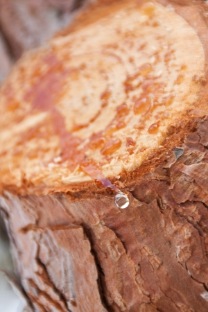Resin drops from pine tree cut, close-up Stock Photo - 17907274