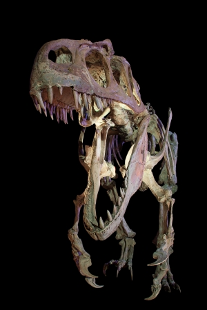 skeleton of a velociraptor dinosaur, isolated in black