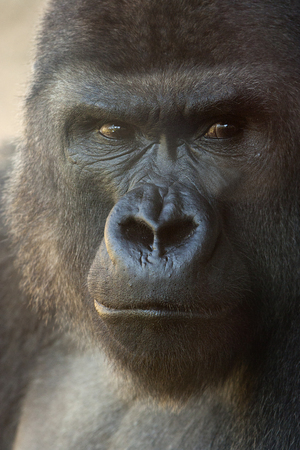 suspicious expression of a great gorilla photo
